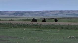 groundhogs and buffalo