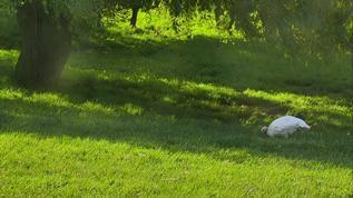 Happy turkey under the willow tree