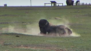 Rolling in the dirt, must feel great!