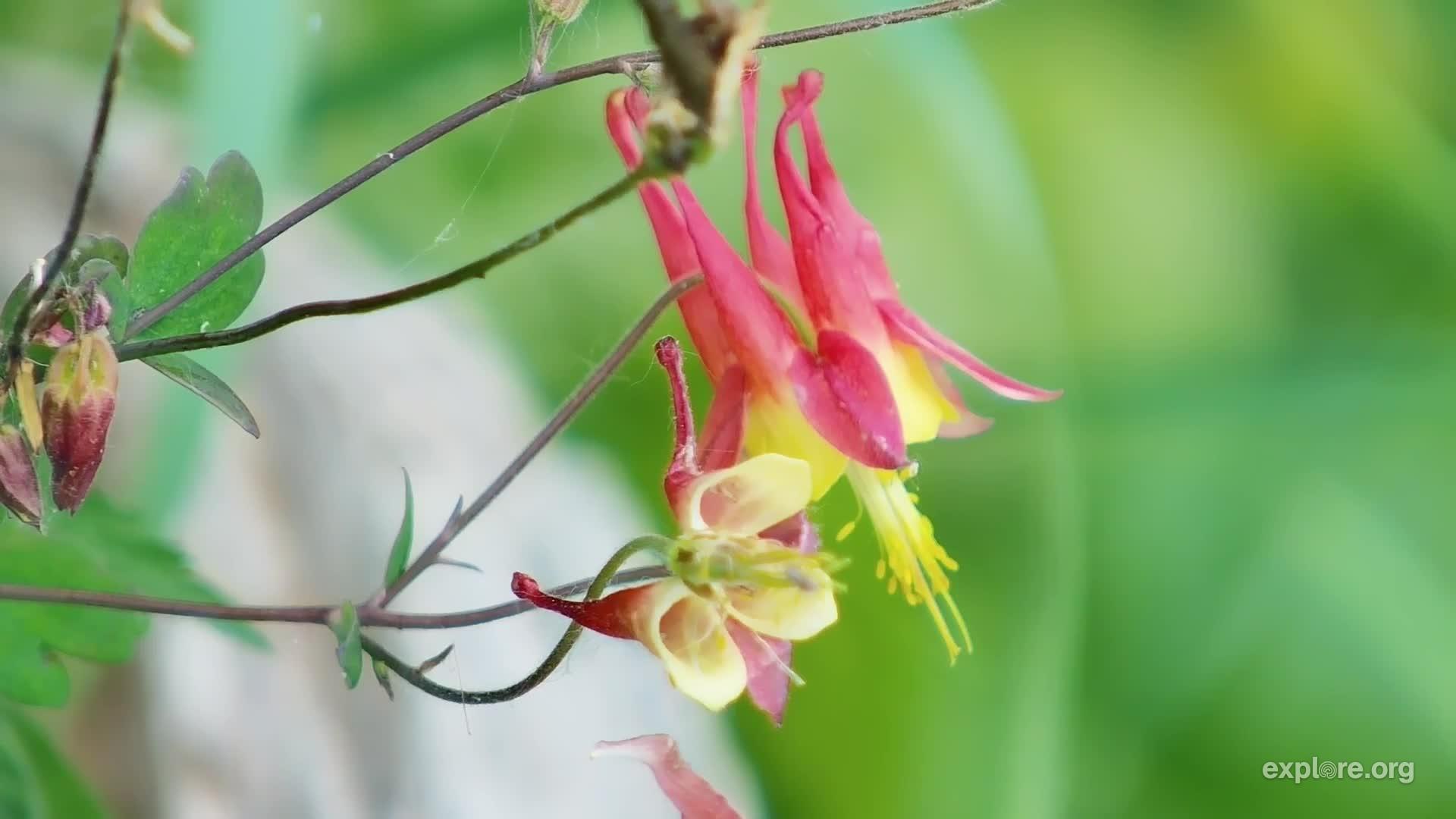 Aquilegia Canadensis Red Columbine Minnesota Wildflowers