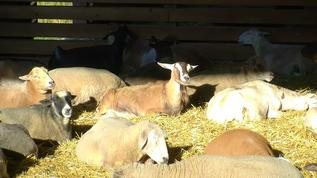 FS/Sheep Barn/Clarabelle and the gang
