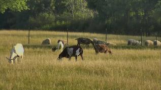 Senior Goats and main sheep flock