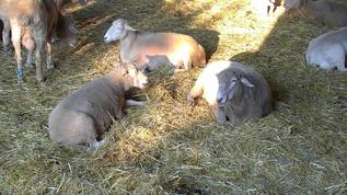 FS/SheepBarn/Sheepies just relaxing!!