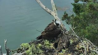 Bless Rachel's heart.   She's such a tired osprey Mama.