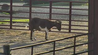 FS/Sheep Pasture/Poor goat can't stand on his legs very long!!