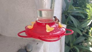 So, my front and back female Rufous feeder guards are back in town!!!  I am so excited!  I saw them both first thing this a.m.  Male Rufous also hanging around and a Broad-tailed or Calliope female.