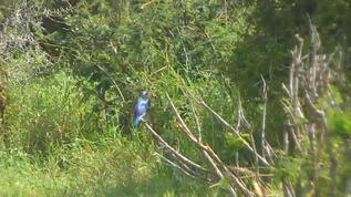 Greater blue-eared starling...