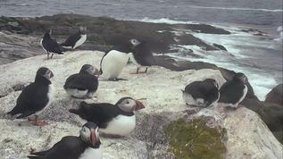 Puffin party on the loafing ledge