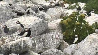 Puffins/Berm/Lots of Puffins on the rocks