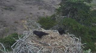 Are these crows taking over the eagle nest?