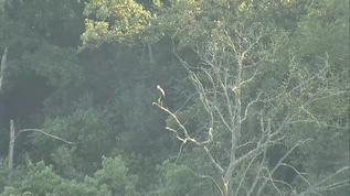 Looks line an Osprey?