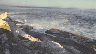 Sunlit herring gull on the Loafing Ledge