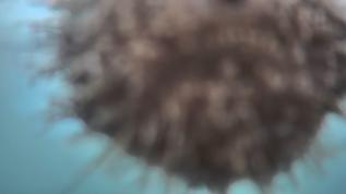 sea urchin CPU