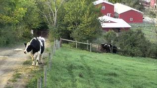 Bovine gridlock back by the gate