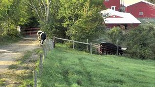 Bovine gridlock -- finally, a steer has come into the Upper Path!