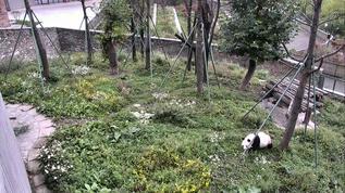 The panda in the Wolong Grove yard