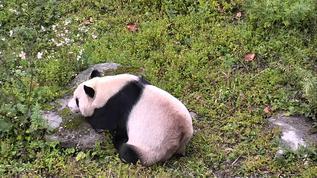 Panda adult in Wolong Grove
