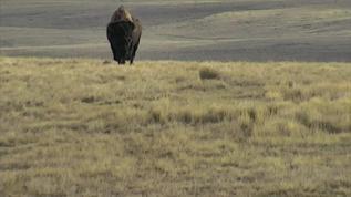 bison walking purposefully toward camera