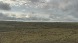 lone bison bull