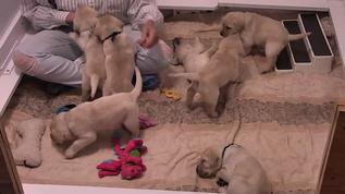 So fun - all puppies except one playing with the hooman.  There always seems to be one sleep head.