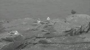 Puffins/Berm/Gull's settling in for the night