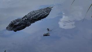 when gators fly