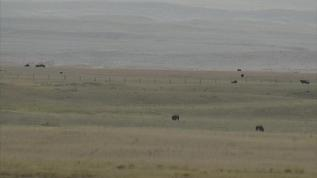 distant bison or cattle?