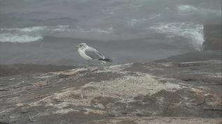 Herring Gull 09-18-18