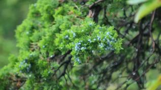 Juniper berries?  Fodder for our birds?