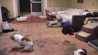 Benji kneading the floor, lol