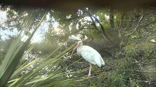 Gators/Such a Pretty Bird the White Ibis!!