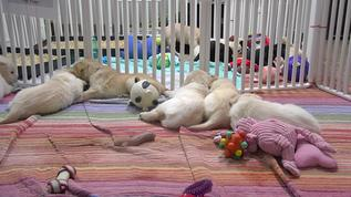 Avatar exploreorg Mod • a month ago We have TWO litters! Ann's litter (8/22) of 6 puppies and Dawn's litter (8/12) of 7 puppies! All will be trained to be future service dogs!